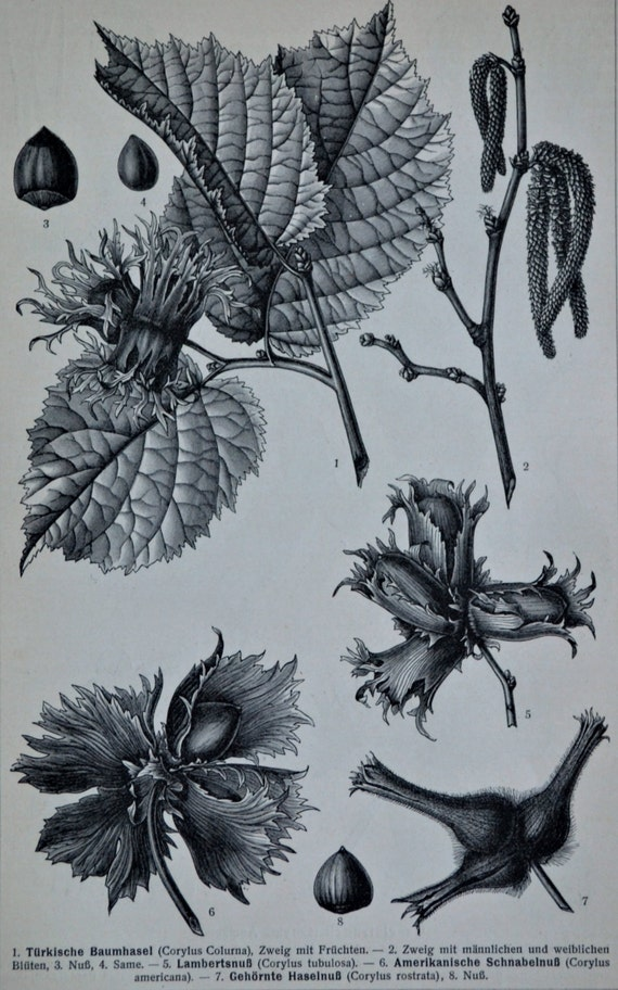 Hazel-nut tree. Old book plate. 1904. Antique illustration. 110 years lithograph. Botany print. 9'6 x 6'2 inches or 24.5 x 16 cm.