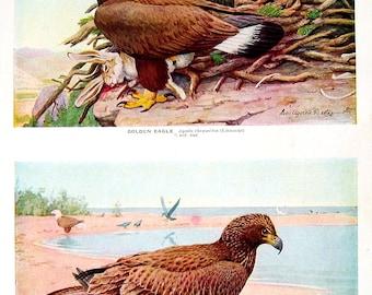 Golden Eagle, Bald Eagle, Gyrfalcon, White Gyrfalcon - Bird Print - 1936 Vintage Book Page - 8 x 11