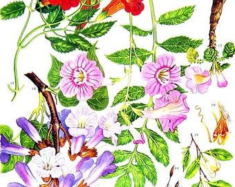 Flower Print - Chinese Trumpet Vine, Empress Tree, Twisted Cord Flower - 1988 Vintage Page