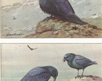 Vintage Bird Print, Book Plate, Crow, Magpie, Raven, Allan Brooks, Antique Bird Illustration, 1930s