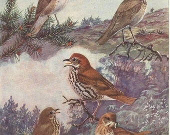 Vintage Bird Print, Book Plate, Thrush, Wood Thrush, Hermit Thrush, Allan Brooks, Antique Bird Illustration, 1930s