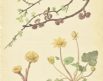 Flower Print - Colts Foot - Vintage Botanical Book Plate Print - Hawthorn - Common Elm - Diary of Edwardian Lady - Edith Holden - 1906