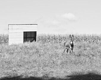 Black and White Photography, Donkey Farm Art Photo, Square Fine Art Print