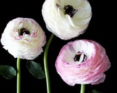 Three Ranunculus