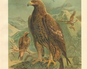1903 Golden Eagle Original Antique Lithograph to Frame