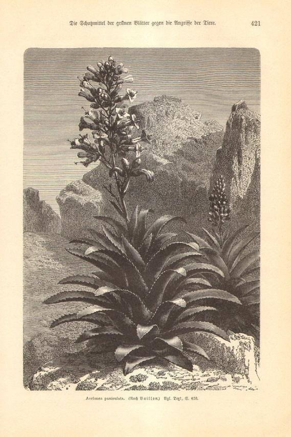 1897 Aechmea Paniculata in Bloom, Bromeliads Original Antique Engraving to Frame