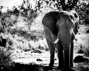 Elephant Fine Art - Monochrome Animal Photography - Black and White Wildlife Home Decor - Wall Art Contemporary Photography
