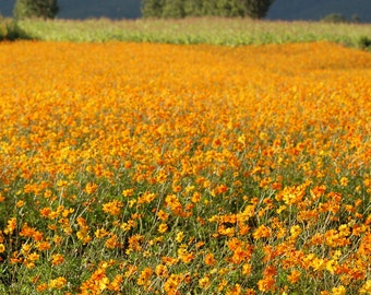 Orange Flower Field - Digital Photography, Botanical Photography,  Orange Landscape, Flower Landscape, Nature Photography, Meadow, Poppies