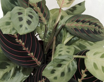 "Hirt's 1 Red and 1 Green Prayer Plant - Maranta - Easy to grow - 4"" Pot"