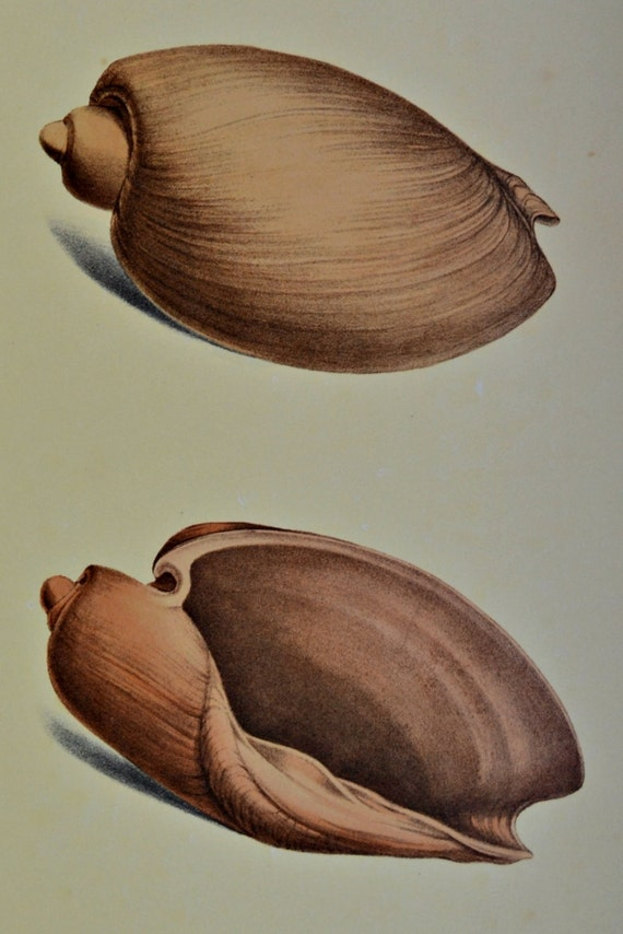 Exotic conchology print. Voluta olla. 1968. Vintage book plate. Shell print. 11'3 x 9'2 inches.