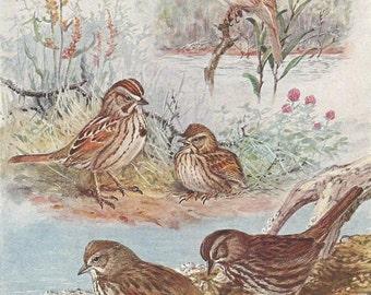 Vintage Bird Print, Book Plate, Sparrows, Desert Song Sparrow, Sooty Song Sparrow, Allan Brooks, Antique Bird Illustration, 1930s