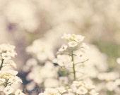 flower photography, fine art flower photograph nature photography wall art white decor Sweet Alyssum in White