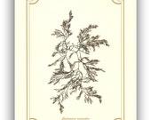 Pressed seaweed Art, Original seaweed pressing, Seaweed Collage, Sea weed Art, brown algae, Botanical art, beach cottage decoration