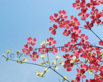 Red and White Dogwood Flowers Against Blue Sky Fine Art Photographic Print