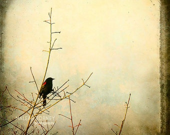 Black Bird Photography, pastel, shabby chic, nature photo, red wing blackbird, pastel, vintage decor