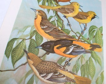 Vintage Bird Prints, Bird Portraits In Color, Orchard Oriole, Baltimore Oriole, Walter Alois Weber, Wildlife Picture, Woodland  (497-13)
