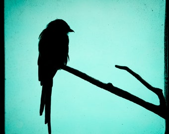 Magpie Shrike Silhouette - Fine Art - Color Photography, Free shipping. Bird Silhouette on Teal, Square Format Print