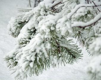 Photograph Winter Pine Boughs
