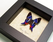 Wedding Gift Real Sapphire Butterfly Conservation Quality Shadowbox Display 114