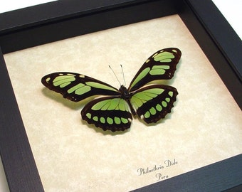 Real Framed Butterfly Green Peru Glider Conservation Display 483