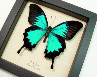 Real Framed Butterfly Best Seller Over 18 Years Blue Swallowtail Butterfly 204s