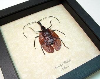 Real Framed Violin Beetle Conservation Quality Display 2182