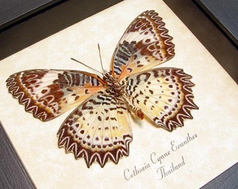 Leopard Lacewing Real Framed Butterfly Display 133
