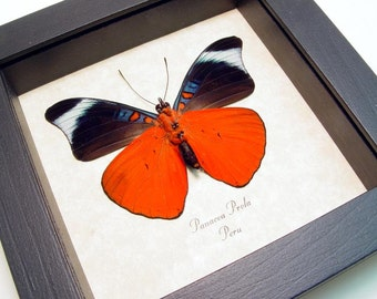 Red Flasher Real Conservation Quality Framed Butterfly 156V
