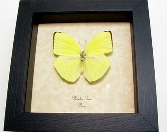 Real Neon Yellow Phoebis Trite Real Framed Butterfly 8009