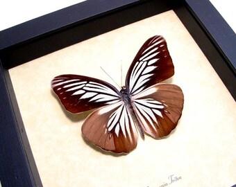 Real Framed Pareronia Tritea Butterfly Powder Blue Pieridae 8151