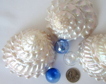 "Beach Decor Seashells - Nautical XL Pearl Astrea Undosa Specimen Shell, 3-4"", 1PC"