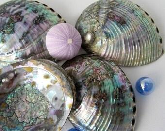 Beach Decor Blue Abalone Seashells -  Nautical Large Specimen Pearl Blue Abolone Shells, 1pc