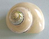 "Beach Decor - Polished Silver Pica Turbo Shell - 2"" - 2.5"" - sea shells craft beach wedding decor"