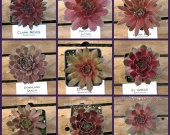 Sempervivum, Choose your Cold Hardy Hen and Chicks Succulent