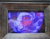 Vivid Bloom a Framed 5 x 7 Photograph