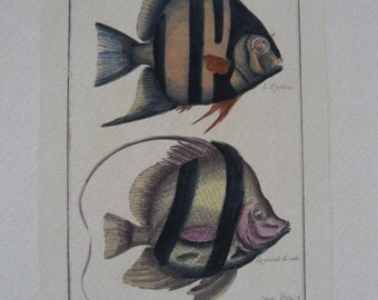 pair of two small vintage hand-colored tropical fish engravings