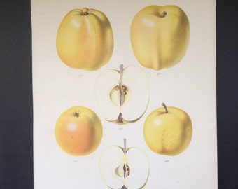 Antique Botanical Fruit Print of  Apples by Wolters circa mid 1800's