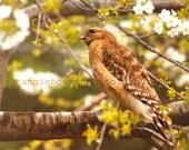 Red Shouldered Hawk - Original Photograph - Spring Nature Tree Branches Predator Bird of Prey Woodland Home Decor Wall Art