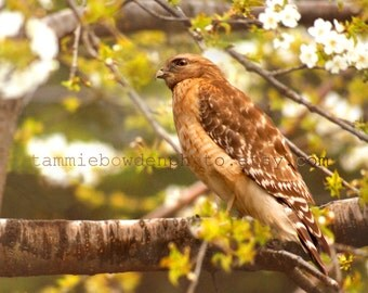 Red Shouldered Hawk - Original Photograph - Spring Nature Tree Branches Predator Bird of Prey Woodland Home Decor Wall Art