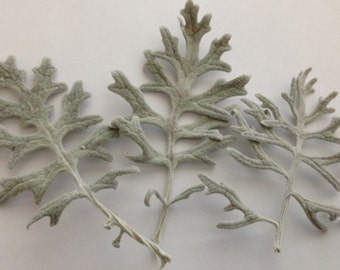 Dried Dusty Miller Leaves - Set of 3