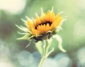 Sunflower Wall Art, Mustard Yellow, Teal Aqua Blue Green, Sunflower Kitchen Art, Picture of Sunflowers, Yellow Flower Photography 8x10 Print