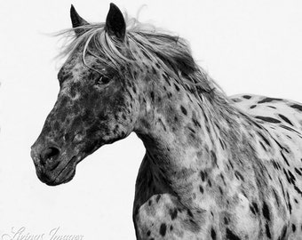 Leopard Appaloosa Runs - Fine Art Horse Photograph - Horse - Black and White - Fine Art Print