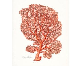 Coastal Decor Venus Fan  Sea Coral Natural History Giclee Art Print 8x10 Coral