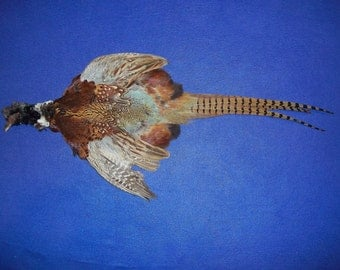 Pheasant Skin - Feathered real animal bird taxidermy animal part