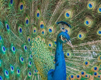 "Animal Photography, ""Proud Peacock"", 8x10 Fine Art Photography Print, Wall Art, Peacock Photo, Customizable Print Sizes"