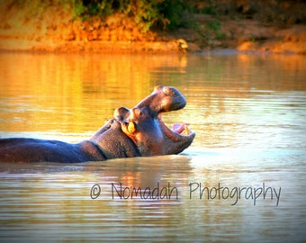 Hippo photography, hippopotamus, African art, nature photography, laughing, Nomadah Photography, 12 x 18, safari