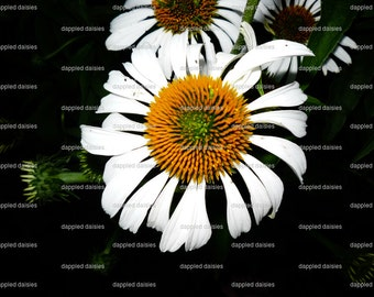 Photograph of a white Coneflower