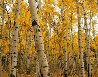 Aspen trees in fall colors fine art photograph print 20x24