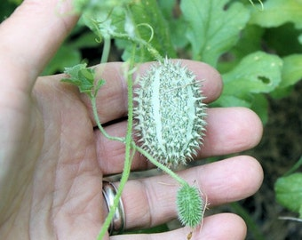 Organic Heirloom 400 RARE Seeds Cucumber Decorative (Ornamental Fruit) Spiky Skins Vine like Hedgehog cute F38