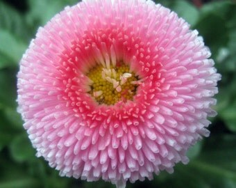 Heirloom 2000 Seeds English Daisy Bellis Perennis Tasso Strawberries and Cream Flower S026